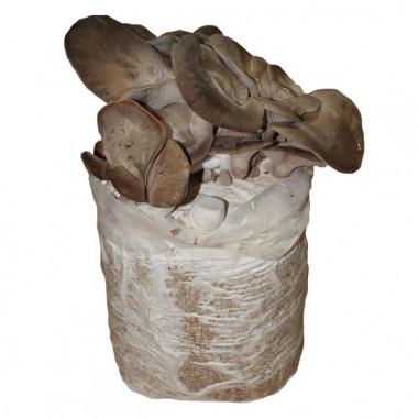 Mico Kit oyster mushroom