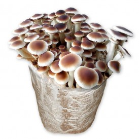 Mico Kit champignon de peuplier