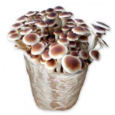 Mico Kit poplar mushroom