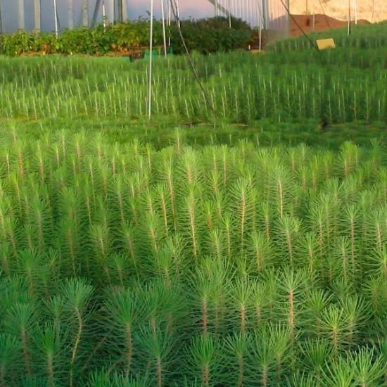 Mycorrhizal mycorrhizal pines. Pinus nigra 450cc