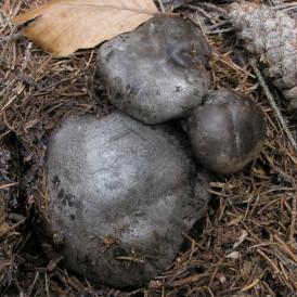 Marzuelos deshidratados - Hygrophorus marzuolus