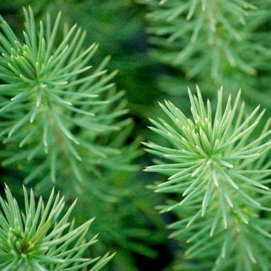 Pino micorrizado níscalo. Pinus nigra