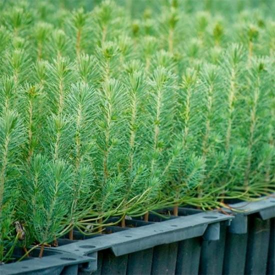 Pino micorrizado níscalo. Pinus silvestris