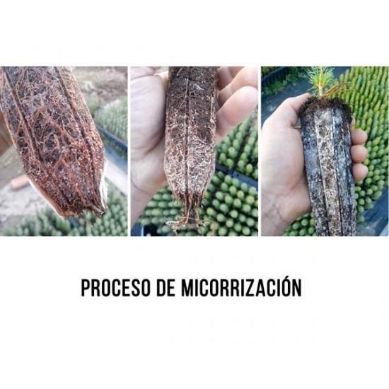 Mycorrhizal mycorrhizal pines. Pinus silvestris 450cc
