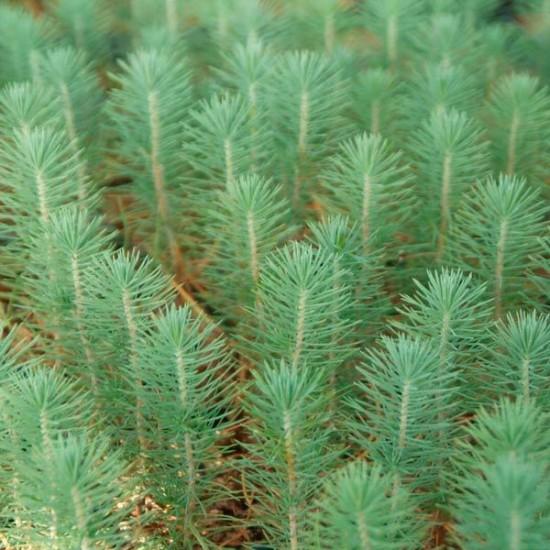 Pino micorrizado níscalo. Pinus pinaster