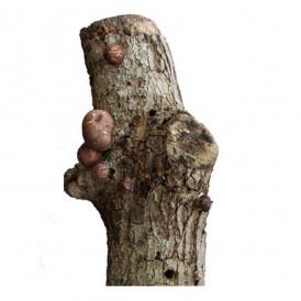 Shiitake producing trunk