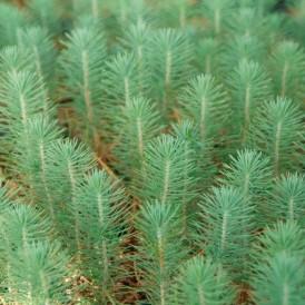 Pino micorrizado níscalo. Pinus pinea Piñonero
