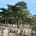 Semillas Pinus nigra 25 ud (PEFC)