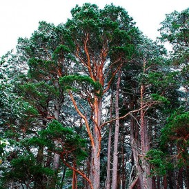 Semillas Pinus sylvestris 25 ud (PEFC)