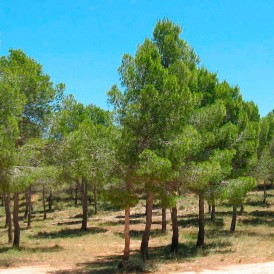 Semillas Pinus halepensis 25 ud (PEFC)