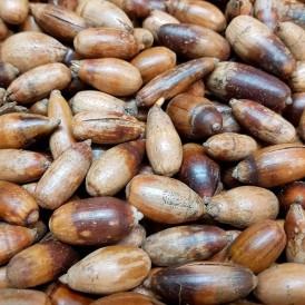 Semillas Quercus ilex 20 ud (PEFC)