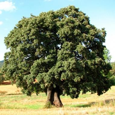 Quercus ilex seeds 20 pcs (PEFC)
