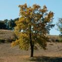 Semillas Quercus faginea 20 ud (PEFC)
