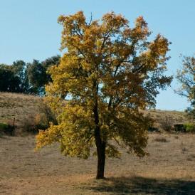 Quercus faginea seeds 20 pcs (PEFC)