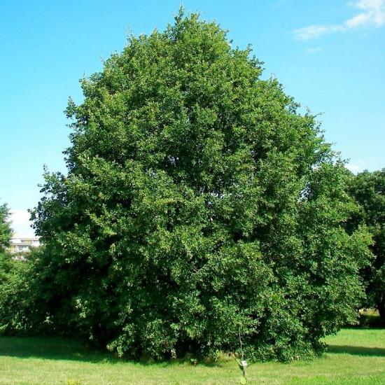 Quercus petraea seeds 20 pcs (PEFC)