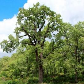 Quercus pyrenaica seeds 20 pcs (PEFC)