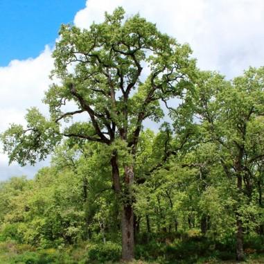 Semillas Quercus pyrenaica 20 ud (PEFC)