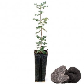 10 Quercus ilex productores de trufa