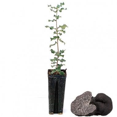 Quercus ilex black truffle producers