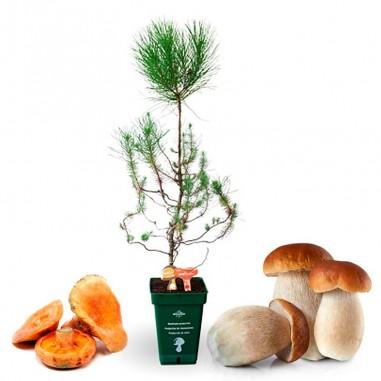 Pinus pinea mycorrhizal mycorrhizal. Pinus pinea 7,5 l