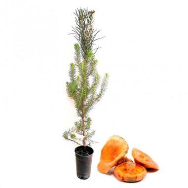 Pinus pinea micorrizado níscalo. Pino...