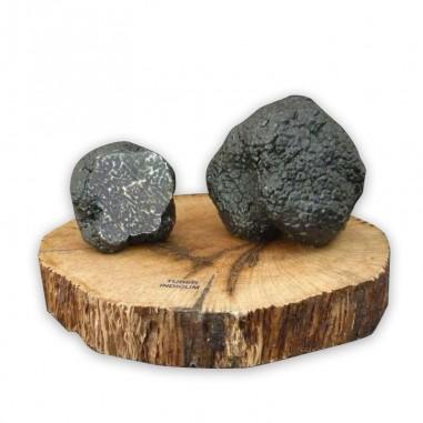 Chinese truffle resin replica, t. indicum