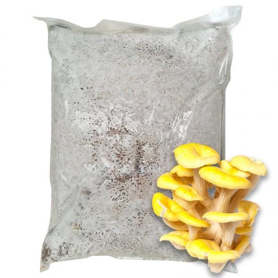 Mycelium yellow oyster Pleurotus citrinopileatus 30 l