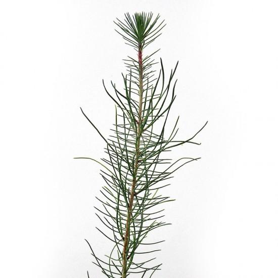 Pinus pinaster pines mycorrhizated by boletus pinicola