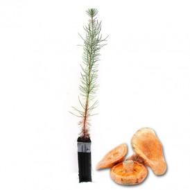 Mycorrhizal mycorrhizal pines. Pinus pinaster 450cc
