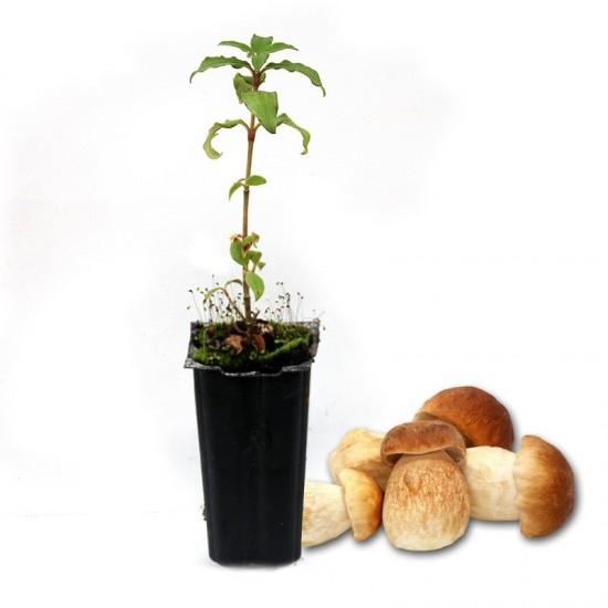 Mycorrhizal mycorrhizal cistus mycorrhizae of Boletus edulis, cistus laurifolius