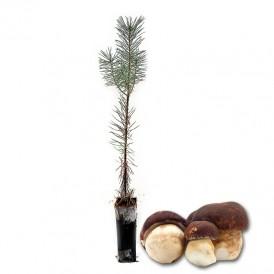 Boletus pinicola mycorrhizal wild pines