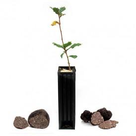 Quercus faginea truffle producers
