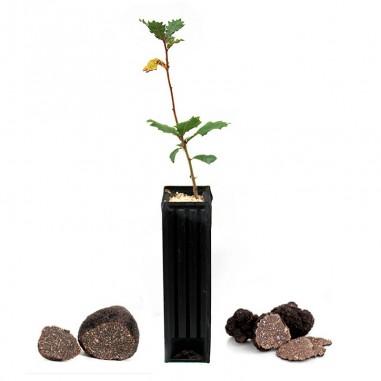 Quercus faginea productores de trufa