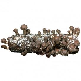 Kit tronco Shiitake 1,6 kg
