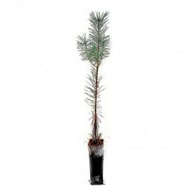 Pinus sylvestris, 2 sapes,...