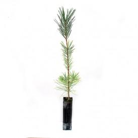 Pinus nigra, 2 sapes, 25...