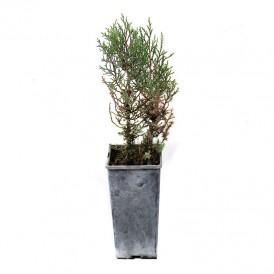Sabinas, Juniperus...