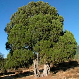 Junniperus thurifera...