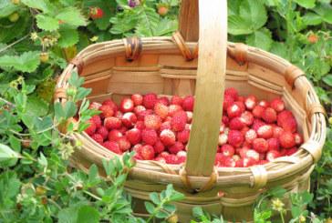 ✅ Fresas silvestres, un tesoro escondido en el monte