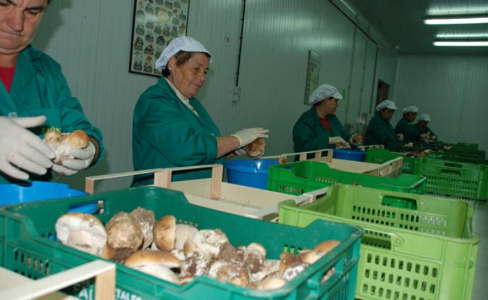 ✅ Castilla y León consigue 130 millones de euros a través del sector micológico
