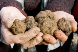 Confirmado! Salamanca ya puede ser óptima para el cultivo de trufas