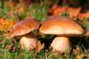 Las setas  silvestres de temporada más comunes de España
