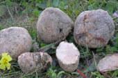 ✅ Descubre los secretos de las criadillas de tierra, una seta muy especial del sur peninsular