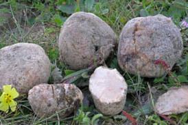 Descubre los secretos de las criadillas de tierra, una seta muy especial del sur peninsular
