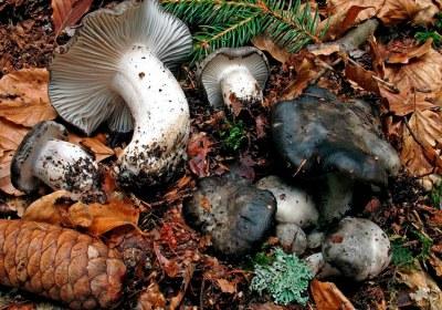 03-marzuelos-hygrophorus-marzuolus-lacasadelassetas