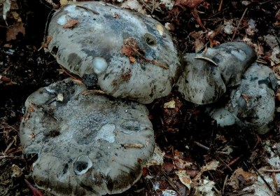 15-marzuelos-hygrophorus-marzuolus-lacasadelassetas