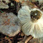 marzuelo-hygrophorus marzuolus-seta de ardilla-la casa de las setas