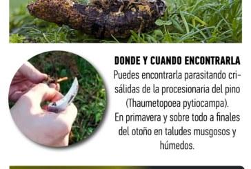 ✅ Cordyceps militaris, una solución contra la Procesionaria de los pinos