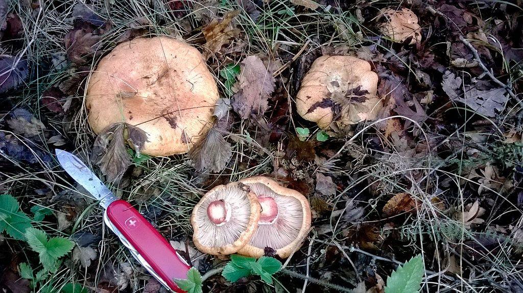 robellones-lactarius deliciosus - niscalos-rovellons-