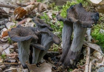 19-trompeta-negra-craterellus-cornucopioides-la-casa-de-las-setas